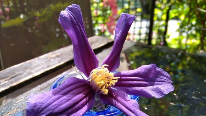 【神戸市須磨区】今日の一輪:クレマチス「花言葉:旅人の喜び」