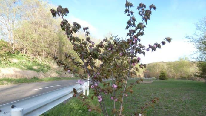 道路脇に植えた桜が咲いた