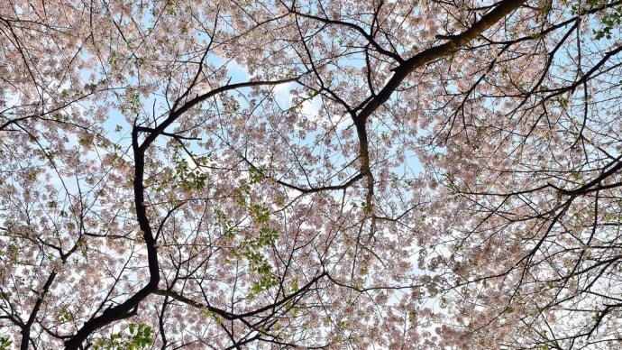 桜並木を歩くと