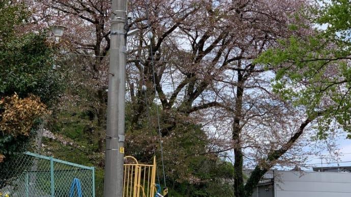 今日の桜は