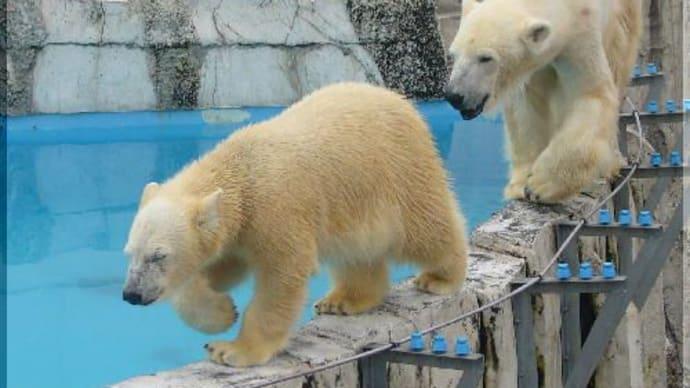 北極熊 ピリカ