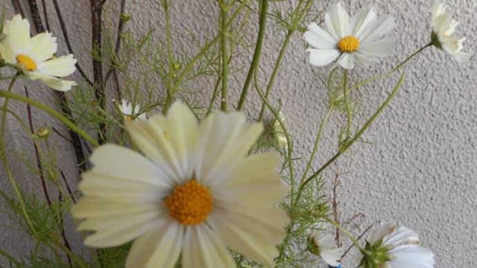 イエロ&ホワイトの秋桜