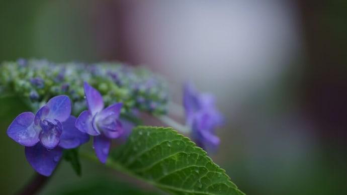 ●我が家の6月の花(4) ヤマアジサイ・城ケ崎 サンドリーム 白蝶草 イングリッシュラベンダー リーフレタス