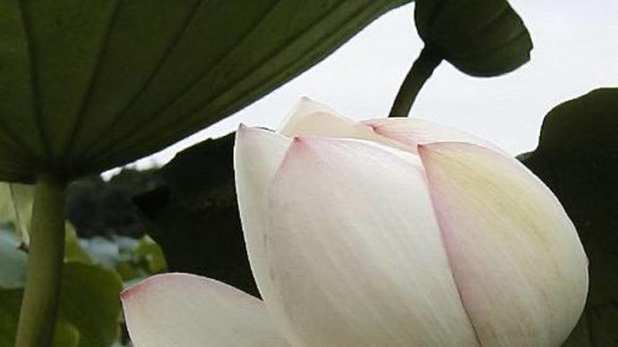 玉里<蓮の花>