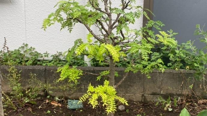 新宿の庭木手入れ 新宿の植木屋 鈴木商店のブログ
