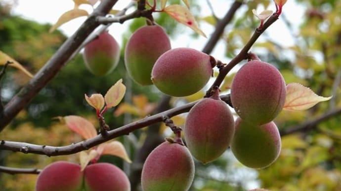 梅林の梅の実