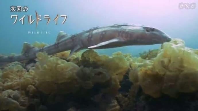 NHKワイルドライフ「四国の小さな入り江 テンジクザメ集結の謎を追う」
