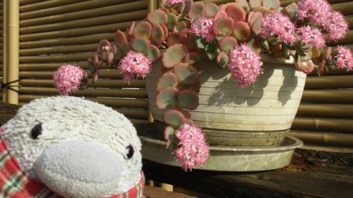 ミセバヤが咲きました。