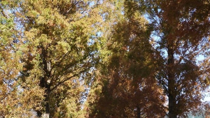 マキノ高原 メタセコイア並木の紅葉