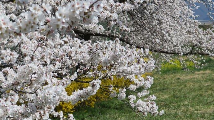 長野は、一気に桜が満開!