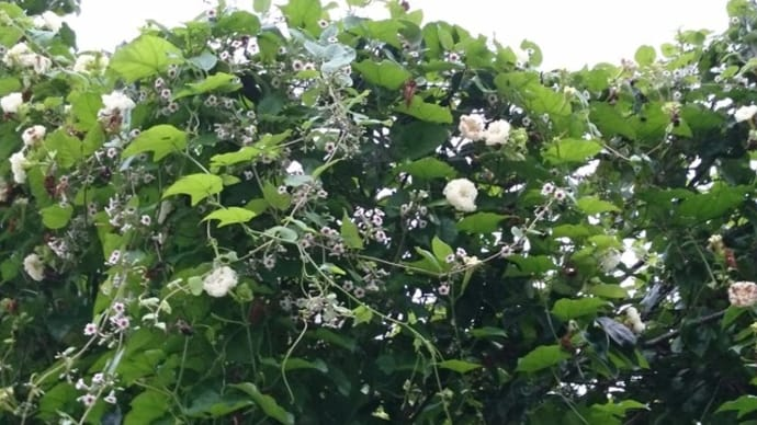 カラスウリの白い花