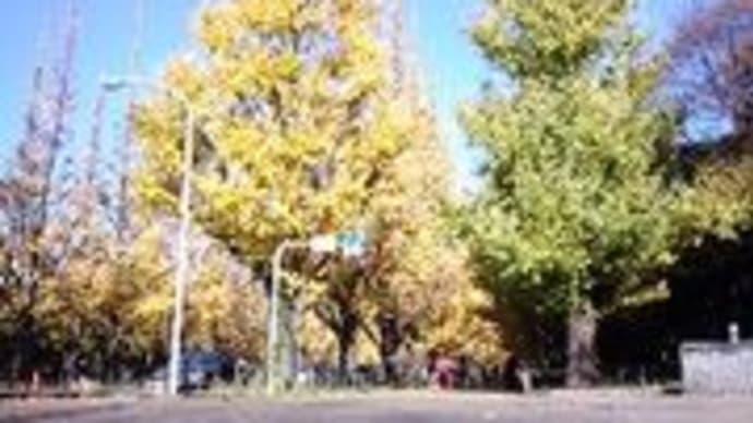 イチョウ並木1211