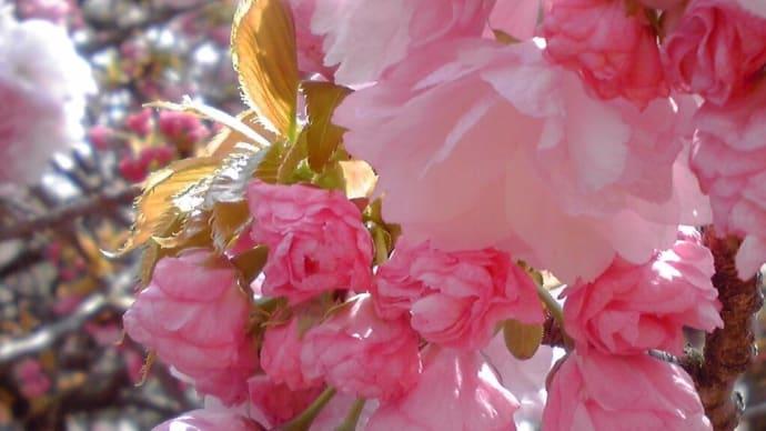 """~愛らしい""""八重桜""""の魅力を~・・・・・・"""