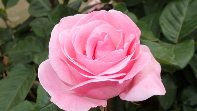 薔薇(2021)パパメイアン クイーンエリザベス
