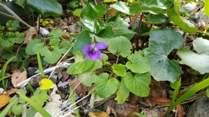 タチツボスミレが咲いていました 観音山