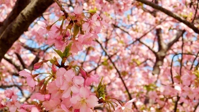 #7573 三浦海岸の河津桜