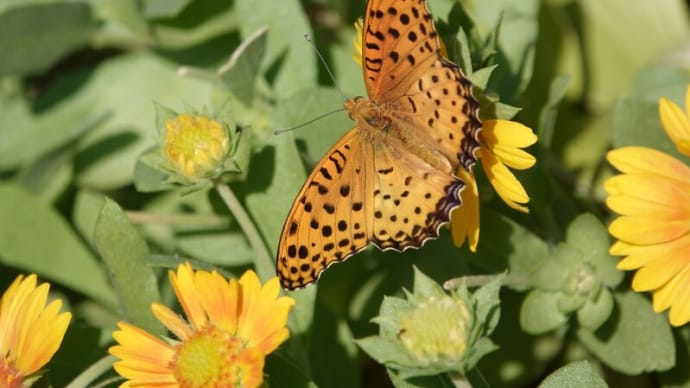 ●ツマグロヒョウモン蝶のオス サンドリーム
