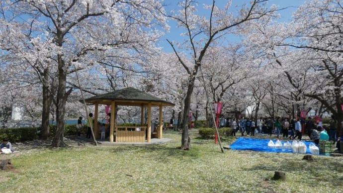 境台場公園の花見。