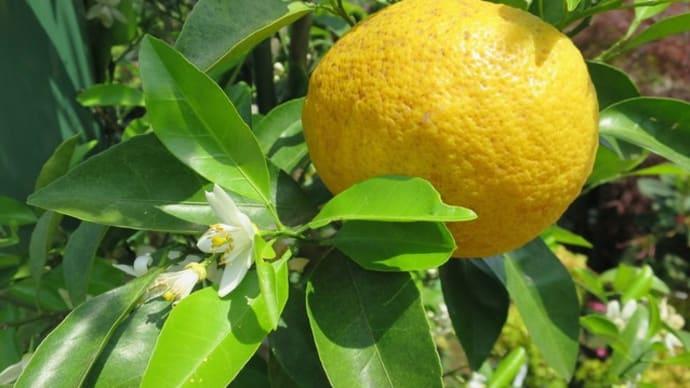 甘夏 柑橘類