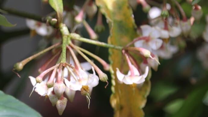 地味なマンリョウの花が満開に