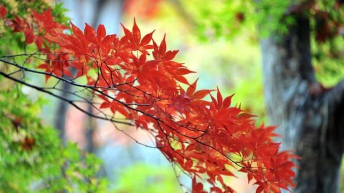 『瑞宝寺公園』の紅葉