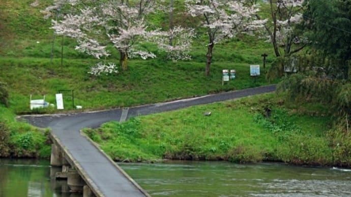 「 恋路(こいじ)橋 」付近の桜
