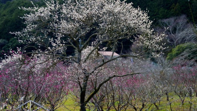 洞慶院の梅