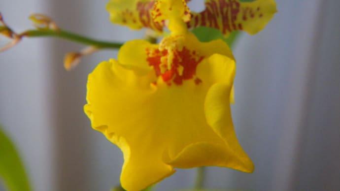オンシジュームが開花
