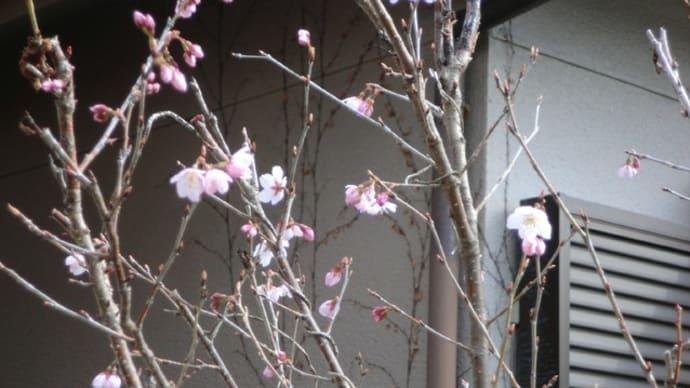 庭の桜📷街角ぶらり旅