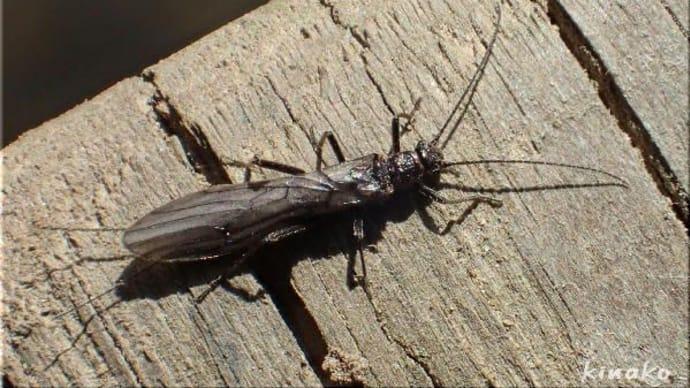 クロカワゲラの仲間・有翅種
