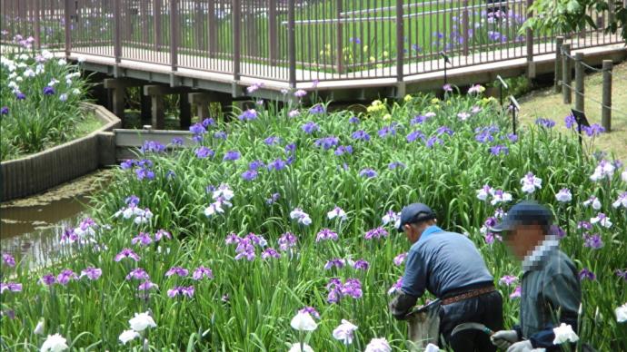 白鷺公園の花菖蒲📷街角ぶらり旅