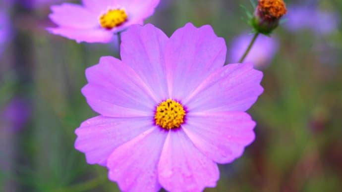 コスモスの花に宇宙を見る