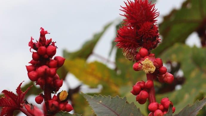 トウゴマ - 赤い果実