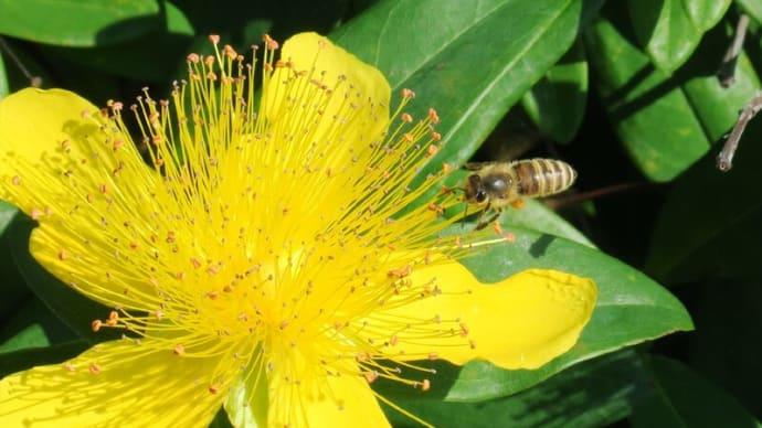 ●ヒペリカム・カリシナムに蜂 ミツバチ