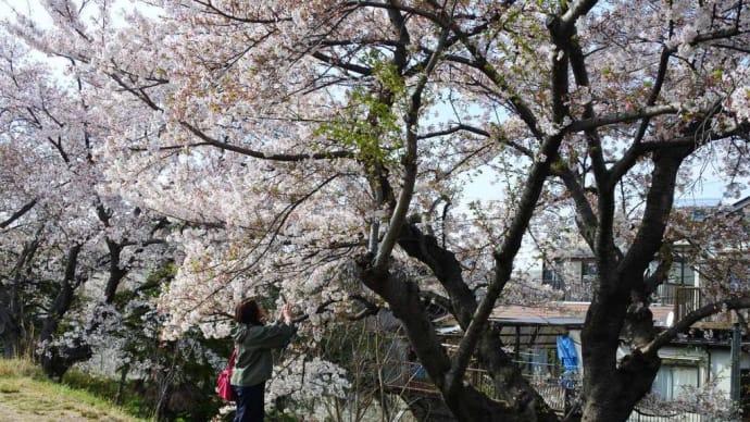 カメラ女子と平成最後の桜