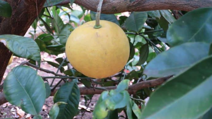 ネーブルオレンジ - 寄居山