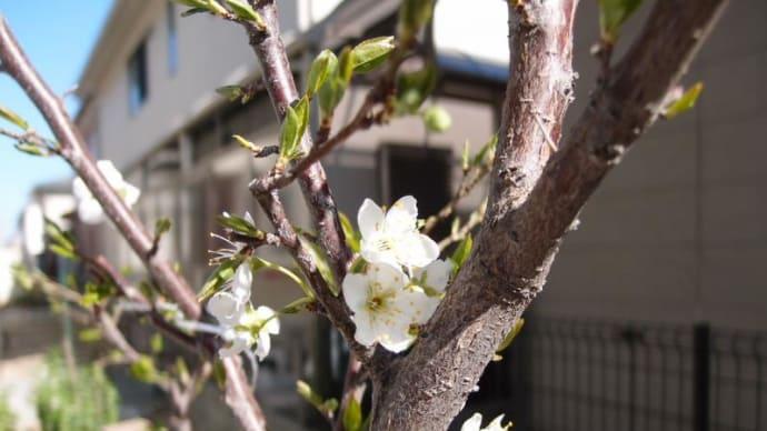 花開く 2