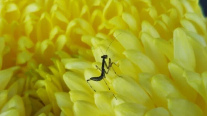 菊の上のカマキリの赤ちゃん