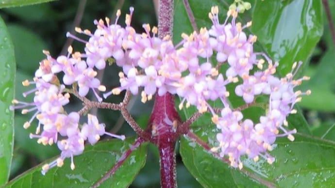 楽書き雑記「庭に咲くムラサキシキブ」