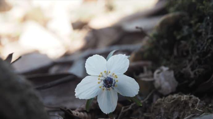 藤原ブルーと春の妖精たち♪ 藤原岳で・・・2 草木まで
