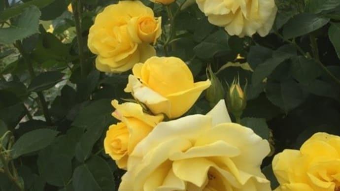 るーくと薔薇