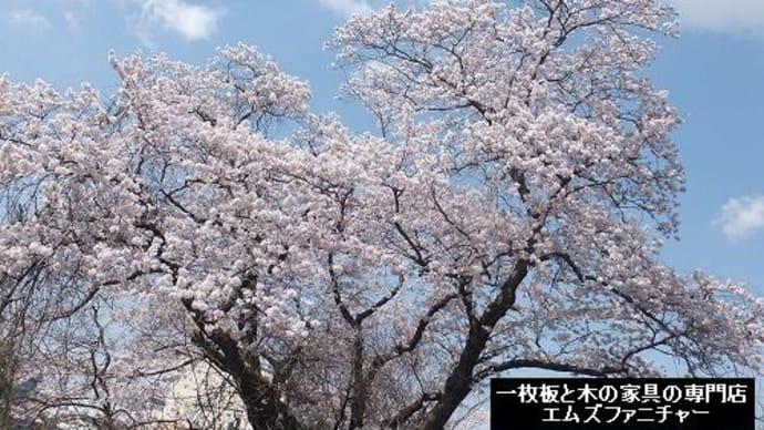 807、お店の裏で見つけた春をいっぱい。晴れのお天気の中、みんな気持ちよさそう。 桜、菜の花、タンポポ・・・。一枚板と木の家具の専門店エムズファニチャーです。