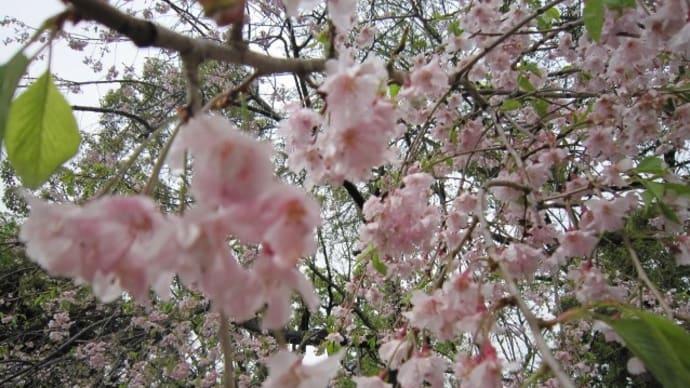 情緒ある 夜桜 ☆ ライトアップ💖夕食♪