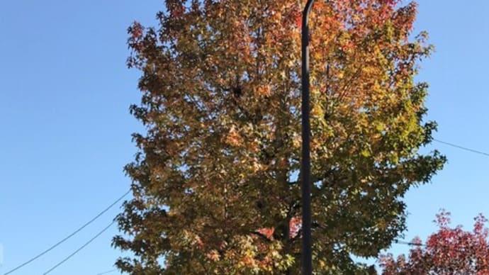 プラタナスの街路樹、こんなに切っても大丈夫なのだろうか?