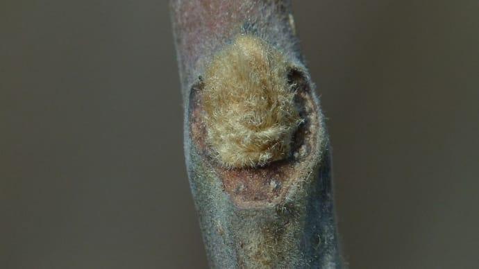 ヌルデ(白膠木)