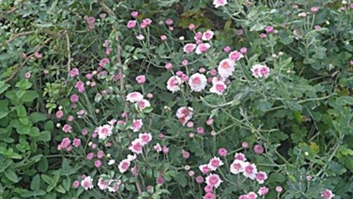 小菊がけんがい咲きみたいに・・・・・