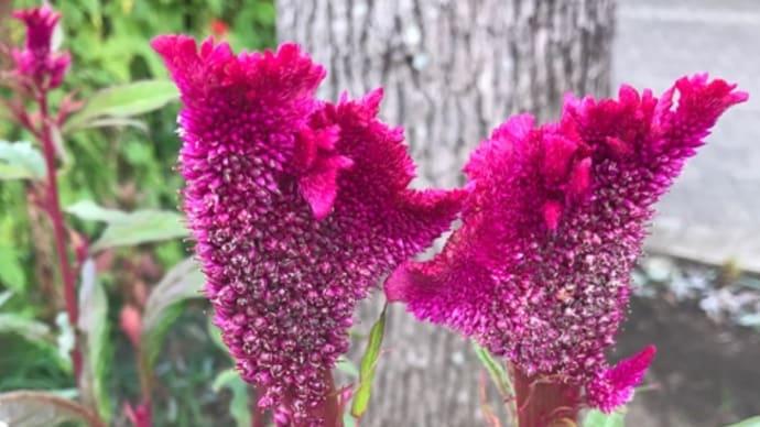 河川敷の花 ケイトウ