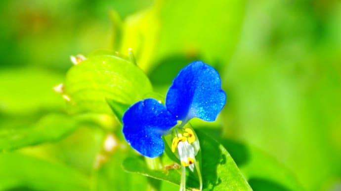 ツユクサは夏の花と聞いていますが・・・
