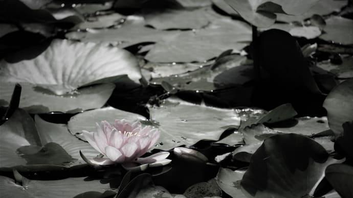 春陽の水花、睡蓮
