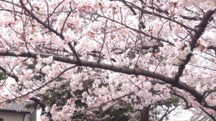公園でお花見・・・・千葉市